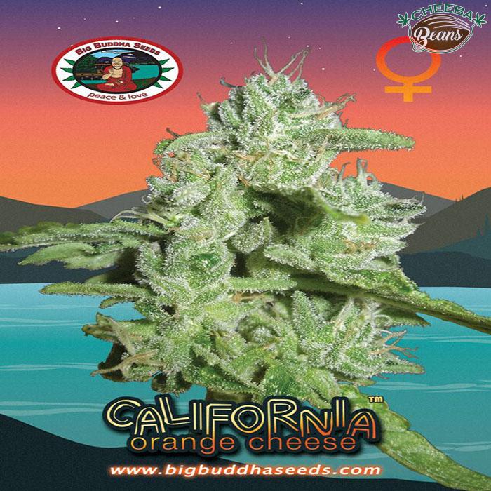 Big_Buddha_Seeds_California_Orange_Cheese_B_2 (1)