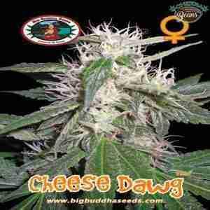 Big_Buddha_Seeds_Cheese_Dawg_B_2