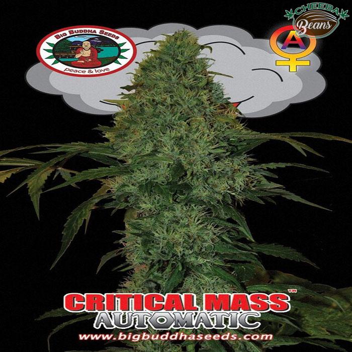 Big_Buddha_Seeds_Critical_Mass_Automatic_B_2