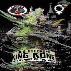 Big_Buddha_Seeds_King_Kong_B_2