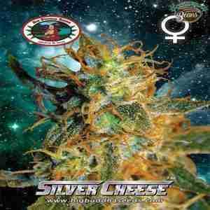 Big_Buddha_Seeds_Silver_Cheese_B_2