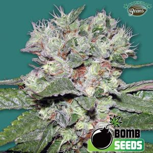 CBD-Bomb