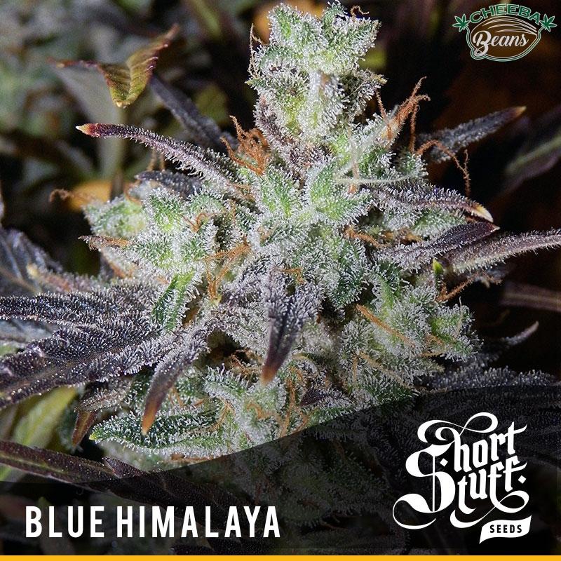 blue himalaya auto short stuff
