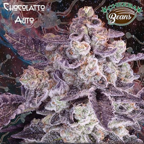 chocolatto_auto_974b322b-8da7-405b-a186-a421b3337f65