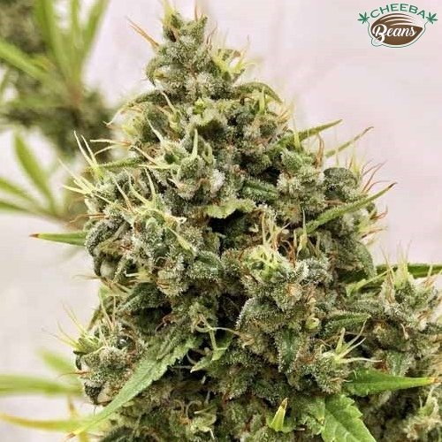 guawi ace seeds