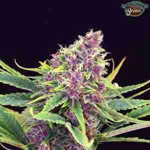 kannabia seeds purple kush