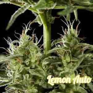 lemon-auto-cbd-2_0d918fdb-6c2e-42a8-8e66-b8fac9f10790