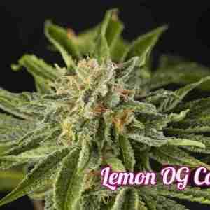 lemon-og-candy-3_2642e60a-d79e-44c8-be7f-e1eb493ac6d3