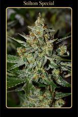 mephisto-stilton-special-autoflowering-feminised-seeds-1501681815_232_e902697f-1440-42f7-ac0c-a467c7c7f20e