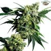 mr nice g13 x hash plant regular