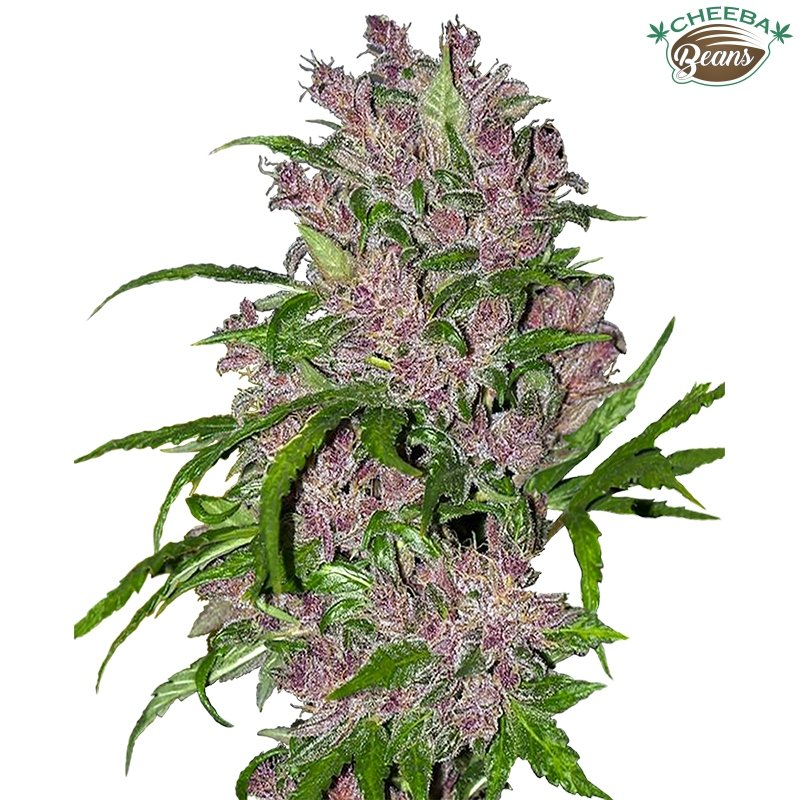 purple-bud-auto