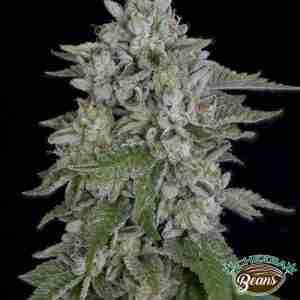 skywalka-cookies-big-head-seeds-cheeba-beans-cannabis-seeds
