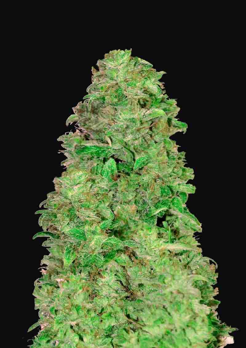 cbd-auto-20-1-fastbuds-cheeba-beans-cannabis-seeds