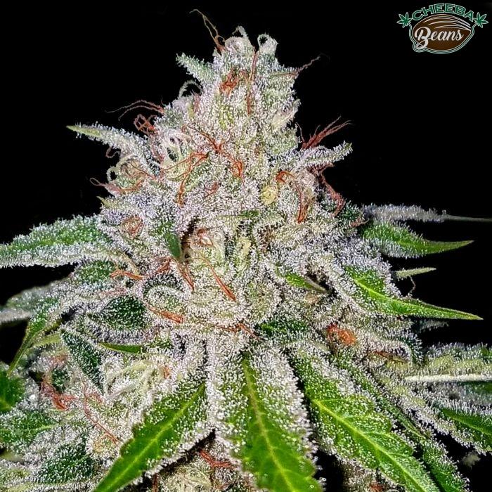 crockett-family-farms-cherry-18-cannabis-seeds