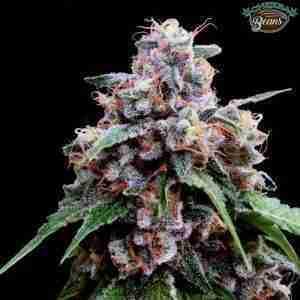 crockett-family-farms-lemon18-cannabis-seeds