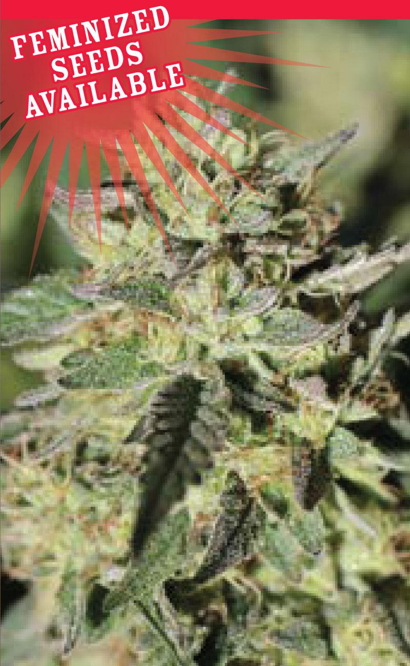 early-girl-og-cannabis-seeds-humboldt-seed-company