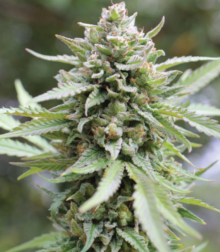 lemongrass-cannabis-seeds-humboldt-seed-company