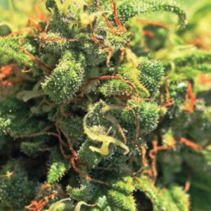 pineapple-upside-down-monster-cannabis-seeds-humboldt-seed-company