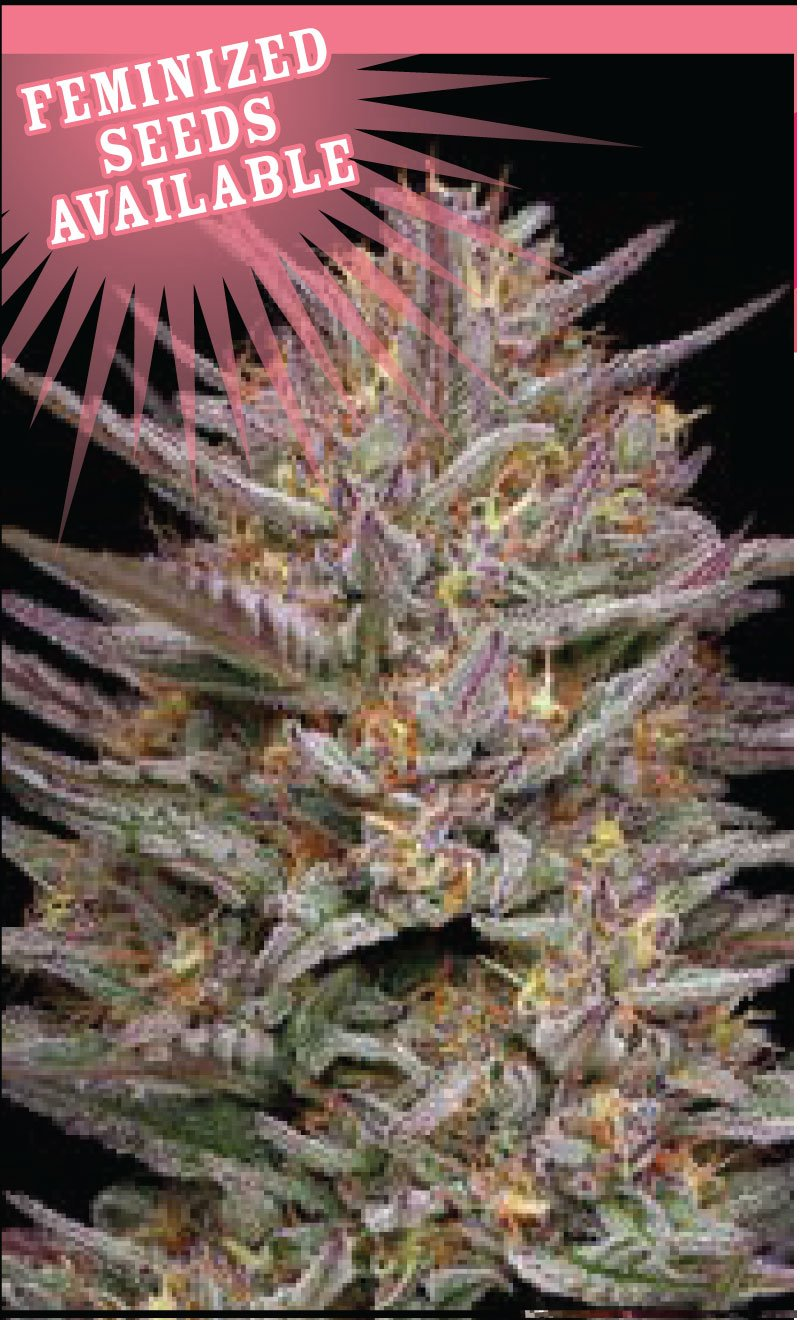 raspberry-parfait-cannabis-seeds-humboldt-seed-company
