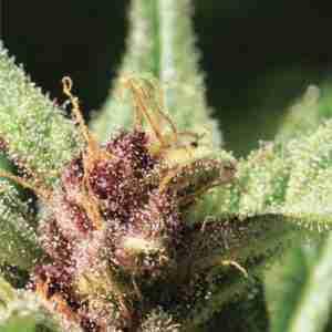 royal-highness-cannabis-seeds-humboldt-seed-company