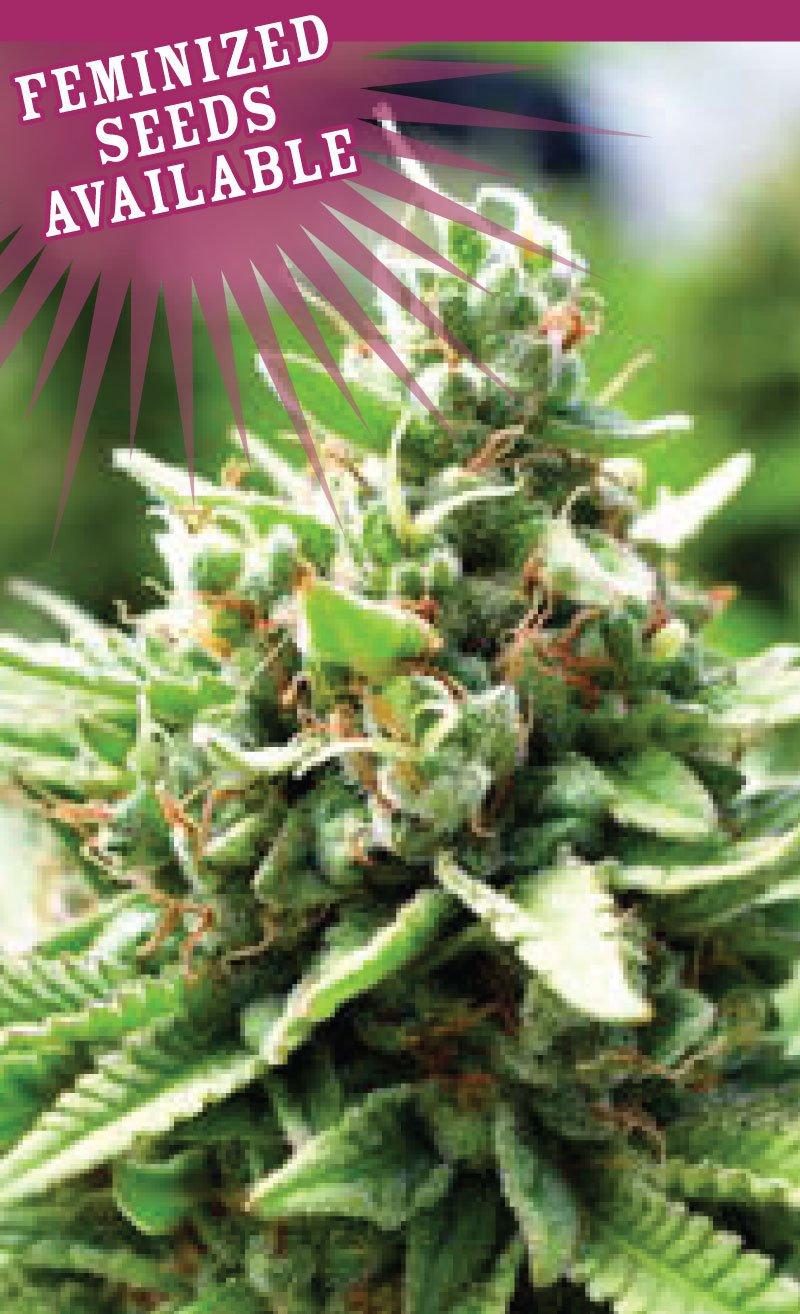 sol-mate-cannabis-seeds-humboldt-seed-company