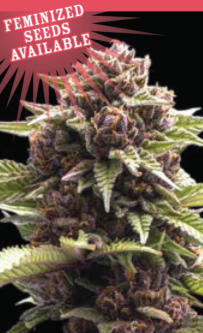 squirt-cannabis-seeds-humboldt-seed-company