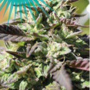 the-bling-cannabis-seeds-humboldt-seed-company