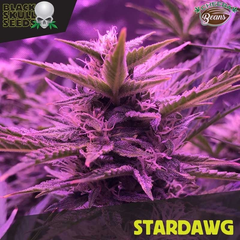 stardawg-blackdog