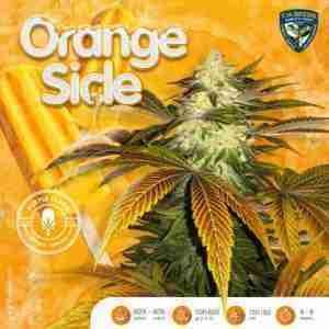 orange-sicle-female-cannabis-seeds