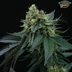 lime-ozz-cannabis-seed-perfect-tree