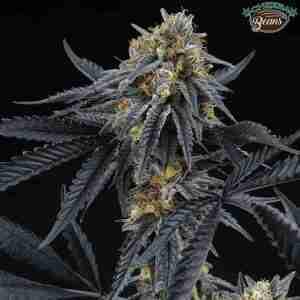 peach-sherbert-og-cannabis-seeds-perfect-tree