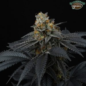 pink-gasoline-female-cannabis-seeds-perfect-tree