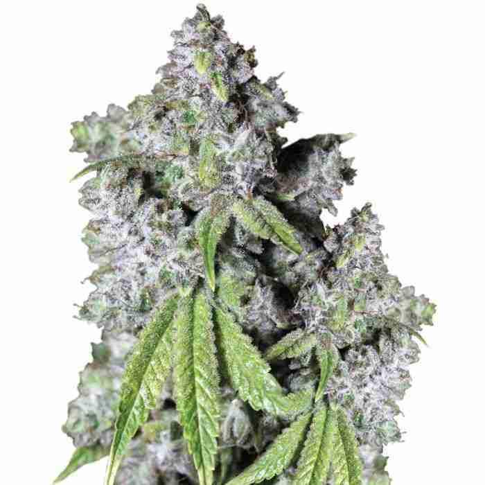 growerschoice_charlottes_dream_cbd_autoflower