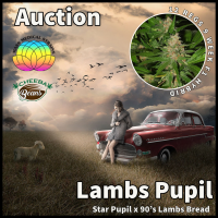 Lamb's Pupil