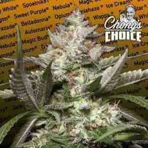 chongs-choice---auto-kong
