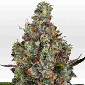 rainbow_road_female_cannabis_seeds_by_paradise_seeds_1